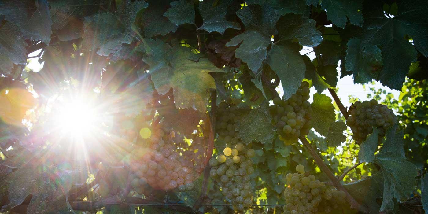 Grapes2_HeroPhoto_VG